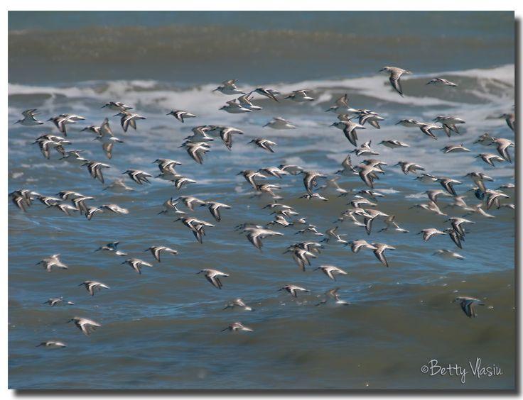 https://flic.kr/p/UxWPF6 | Sanderlings in flight