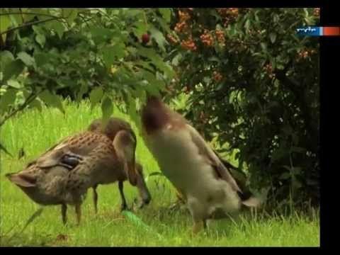 Stunning Beitrag ber Laufenten als Schneckenbek mpfer im Garten Gelaufen im MDR Garten