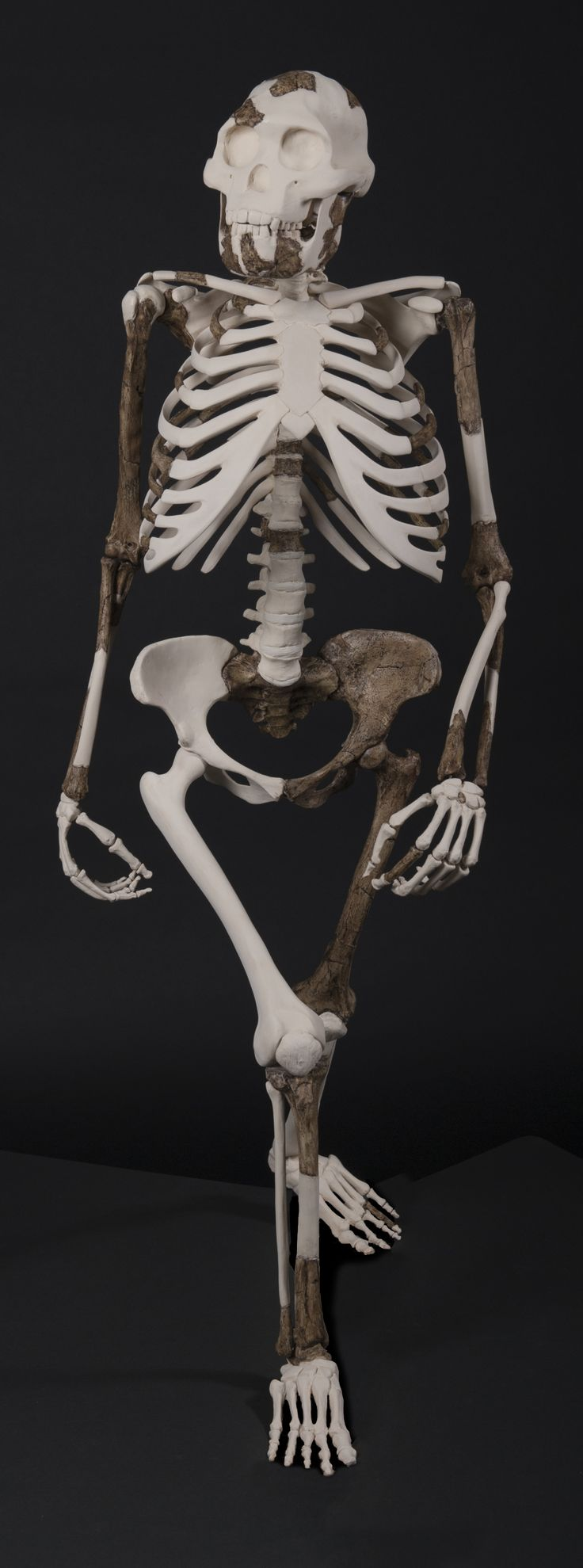 an analysis of the nature and history of the bonono chimpanzee Der bonobo [boˈnoːbo] oder zwergschimpanse (pan paniscus) ist eine primatenart aus der familie der menschenaffen (hominidae) gemeinsam mit seiner schwesterart, dem gemeinen schimpansen, bildet er die gattung der schimpansen (pan.