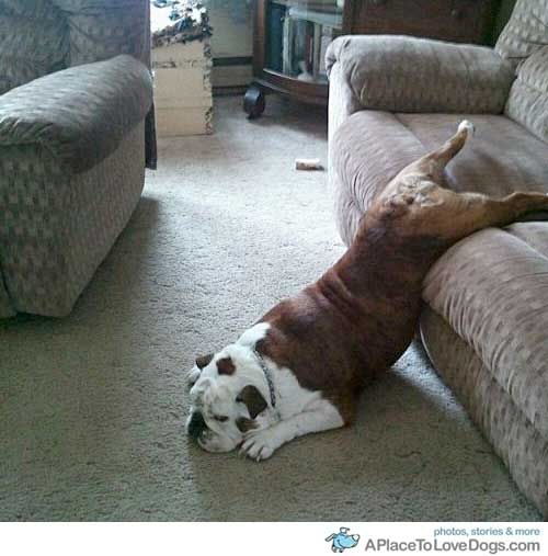 Too tired to movePuppies, Crazy Dogs, Funny Dogs, Old English Bulldogs, Mondays, Pets Furniture, Naps Time, Funny Animal, So Funny