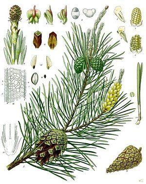 """""""Die Koniferen oder Nadelhölzer (Coniferales, häufig auch Pinales), auch Kiefernartige genannt, sind die größte heute noch lebende Gruppe der Nacktsamigen Pflanzen. Ihre Samenanlagen sind nicht durch Fruchtblätter geschützt."""" Araukariengewächse (Araucariaceae) Kopfeibengewächse (Cephalotaxaceae) Zypressengewächse (Cupressaceae) Kieferngewächse (Pinaceae) Steineibengewächse (Podocarpaceae) Schirmtannengewächse (Sciadopityaceae) Eibengewächse (Taxaceae)"""