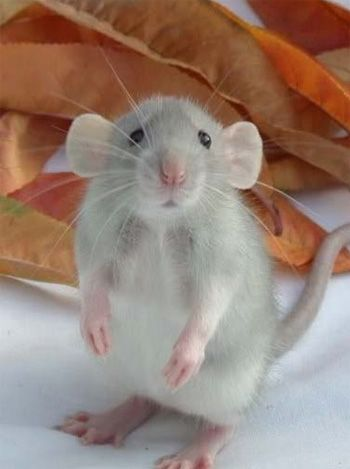 Do not as a rule like rats or mice, but this little guy is too cute. And it's not really running around in my world!