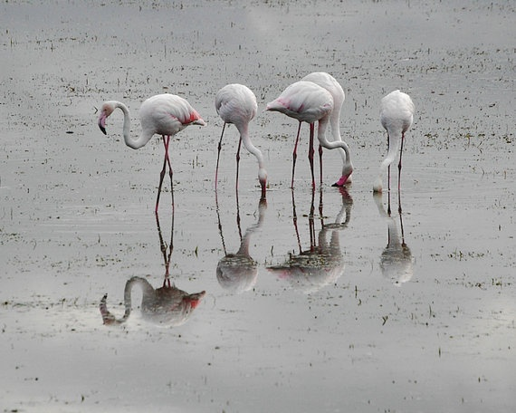 Flamingoes - 8x10 Fine Art Photograph Flamingo Print - Africa, Kenya on Etsy by ShutterShark, $18.00Photographers Flamingos, Art Photographers, Fine Art, Favorite Photos, Flamingos Prints, 8X10 Fine