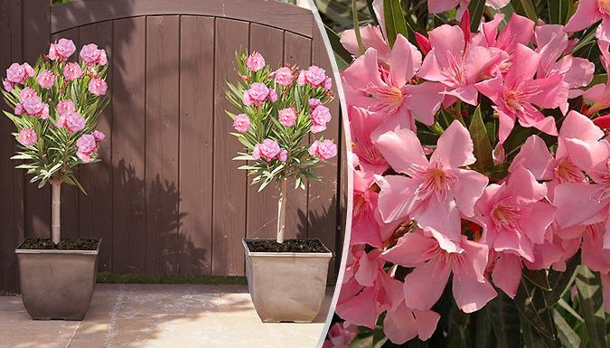 Buy 2 Pink Patio Oleander Potted Plants UK deal for just: £14.99 See your outdoor space bloom with 2 Pink Patio Oleander Potted Plants      Ideal for placing in conservatories, on balconies or patios      Easy to grow - the plants thrive in all temperatures.      The Mediterranean-style flowers carry a sweet fragrance and vivid pink colour      Supplied as 65cm tall plants in 5L pots     ...