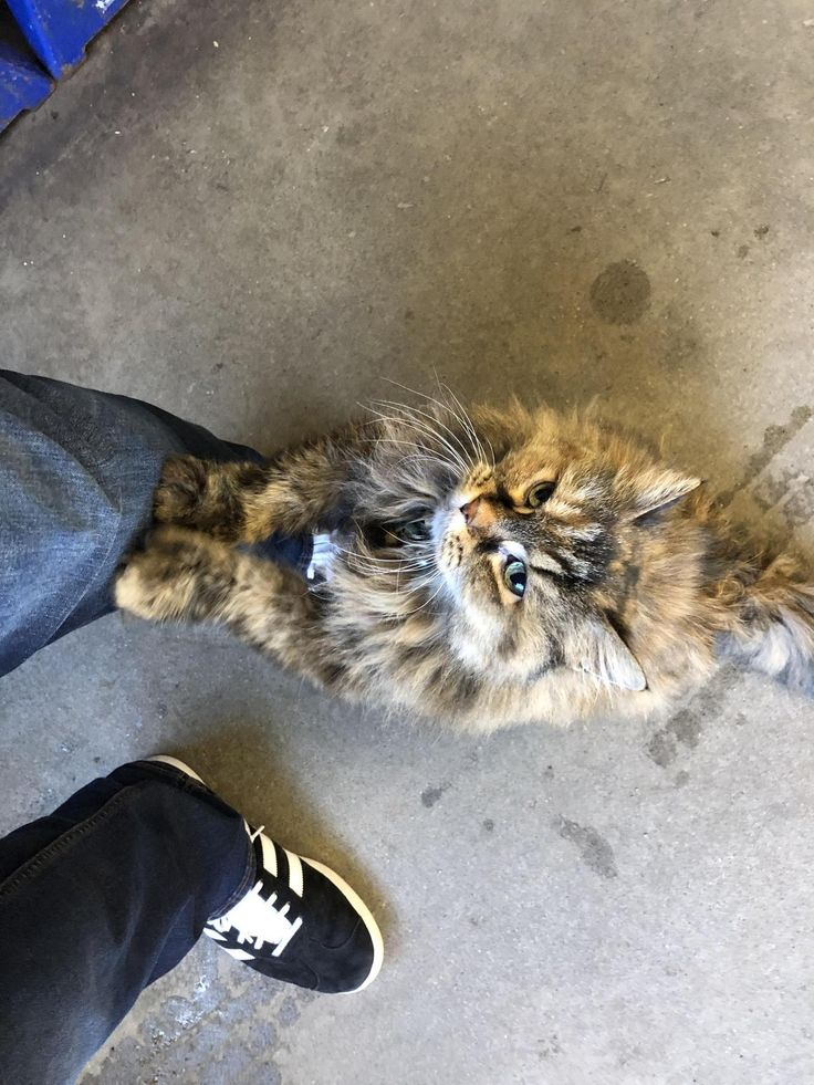 My mechanic has a shop cat that follows me around because I give him scratches. Theres an air gun being used 6 ft away and he didnt even flinch. by sheldoc cats kitten catsonweb cute adorable funny sleepy animals nature kitty cutie ca