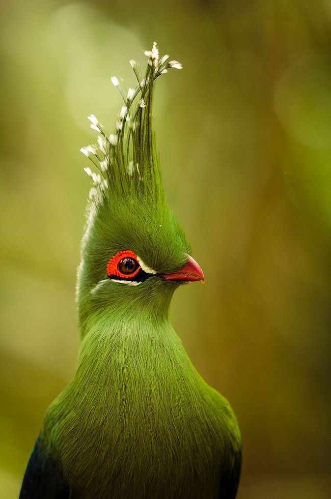 Livingstone's Turaco this guy could hide in the grass and honey bees would visit him for nectar.