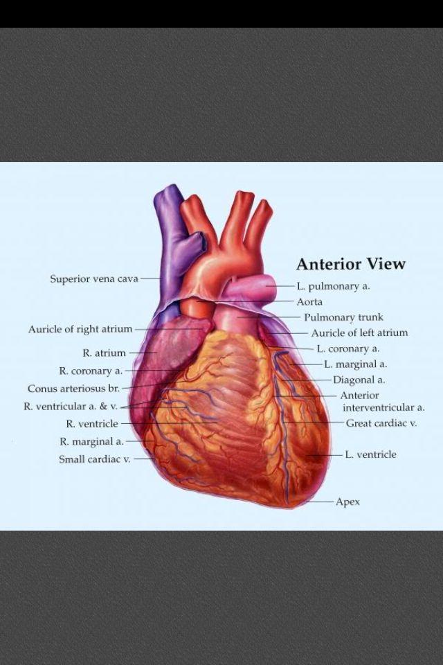 23 best C11 cardiovascular system images on Pinterest | Circulatory ...