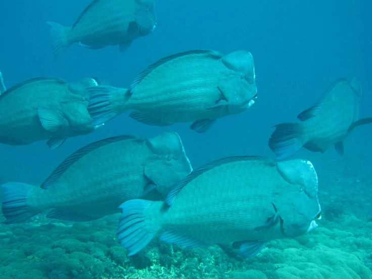 Do u think that some fish are big? These ones, Bumpheads, can become 1 meter tall and swim with a school of 50! Scary? No, dive with us! And maybe around full moon we will show them to you!