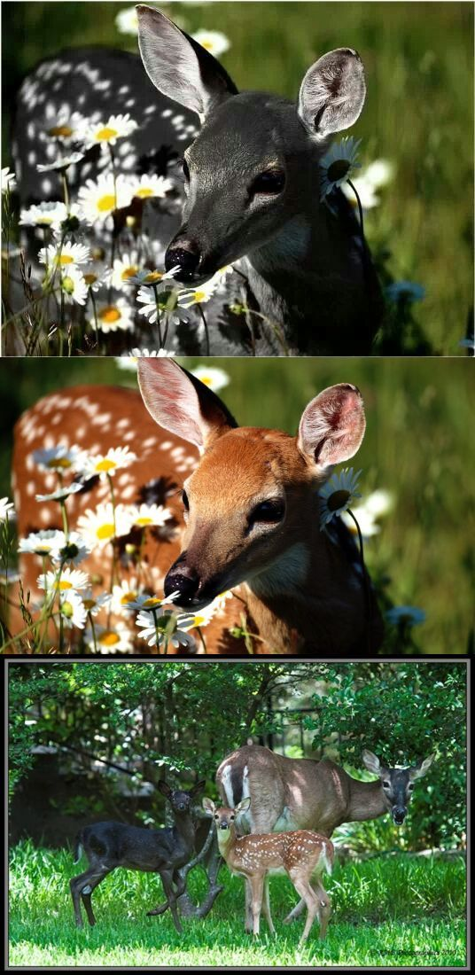 FAKE: the top image is another fake of a melanistic fawn. The middle is the original image, and the bottom is showing a doe with a melanistic and a normal fawn. Since melanistic deer do exist (unlike melanistic lions and tigers) I find it mind-boggling that people feel the need to fake them.