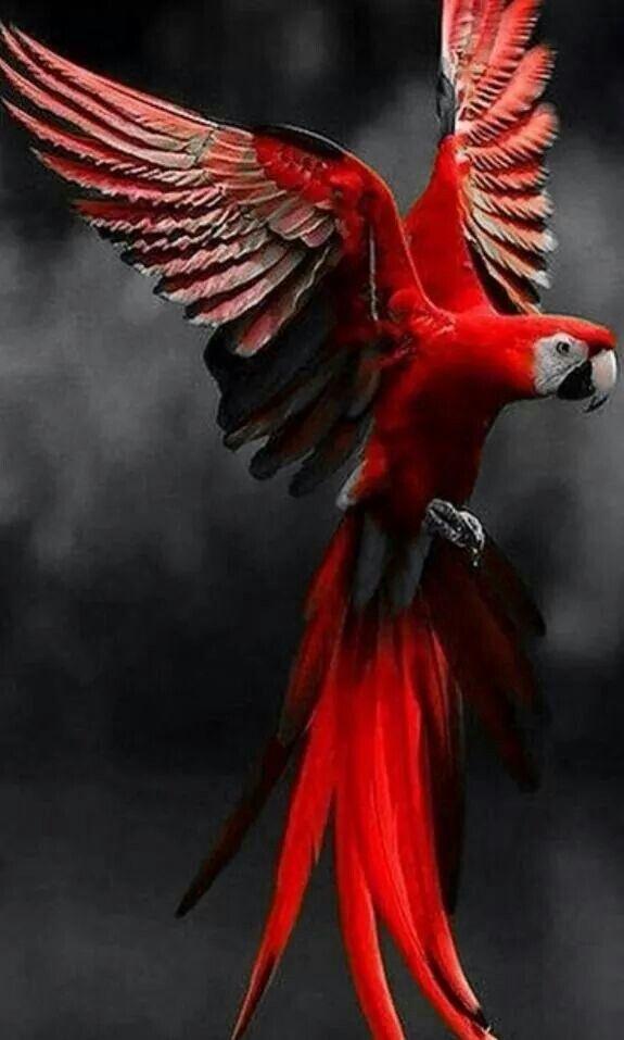 red parrot,,,color splash,,,