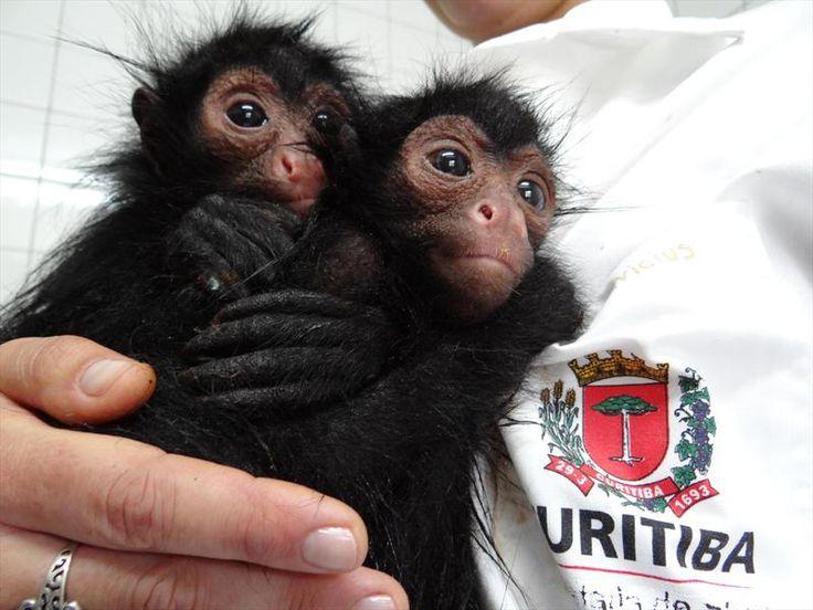 Macacos-aranha no Zoológico de Curitiba. Foto: Divulgação - Portal da Prefeitura de Curitiba.