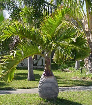 Tanaman Palem Botol (Bottle Palm)