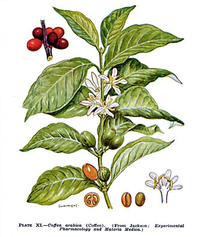 Bach and Coffea arabica | An Accidental Botanist