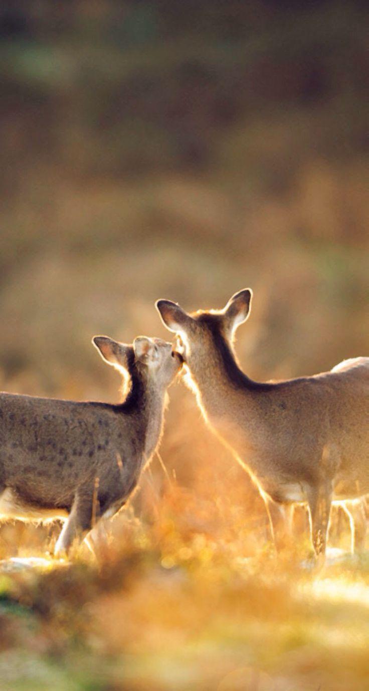 غزال  كأنه غزال يقبل أمه Ghazal Lovely animal