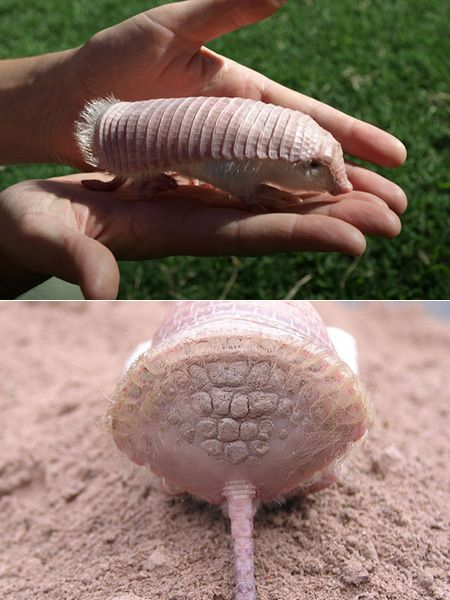 The pink fairy armadillo, known scientifically as the Chlamyphorus truncatus, is a tiny armadillo covered in pink plates and silky white hair that could fit in the palm of your hand. CONICET researcher Mariella Superina and her team have been studying the rare creature in Mendoza, Argentina to determine whether the pink fairy armadillo is endangered, rare, or simply hard to spot.