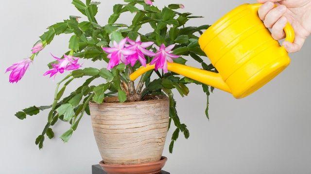 Der Weihnachtskaktus braucht während der Blüte viel Wasser. (Quelle: Thinkstock by Getty-Images)