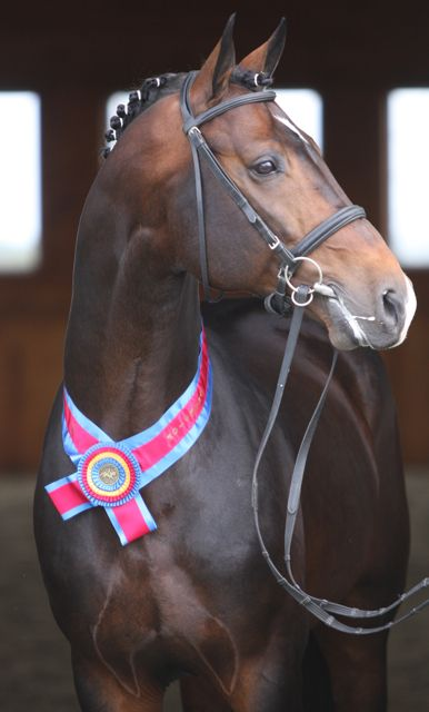 """Champion Stallion Dressage, Coeur d' Amour - translated to mean """"love of my heart"""""""