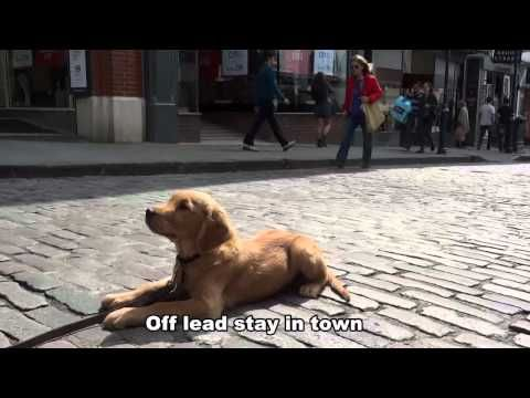 Toby - 10 week old Golden Retriever puppy - 21 day dog boot camp with Adolescent Dogs Guildford