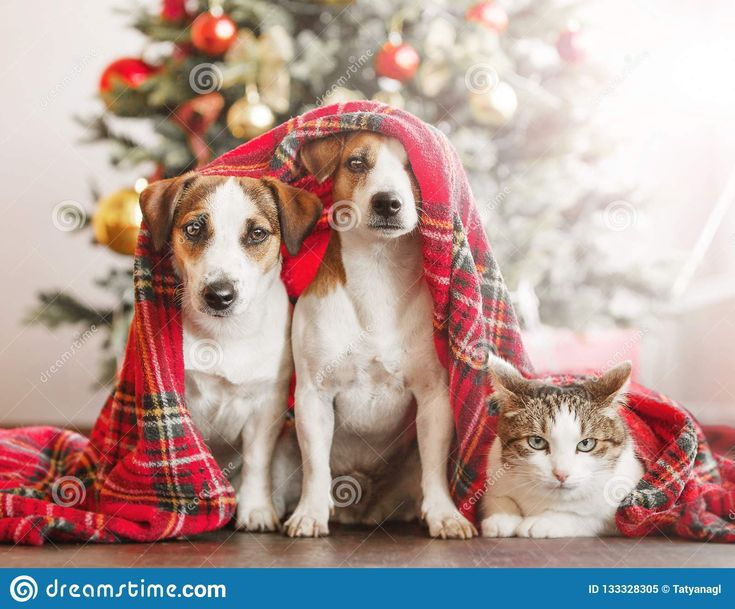 Dog and cat near christmas tree. Pets under red blanket at