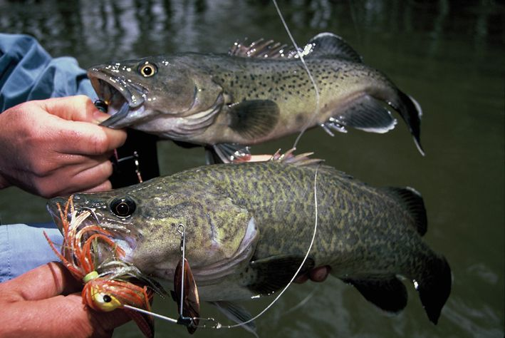 Murray Cod (below) vs Trout Cod (above). Both from the same snag on the Murray River