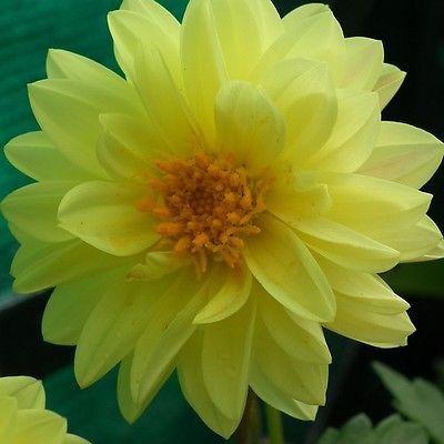 20 Dahlia Opera Yellow Flower Seeds Under The Sun