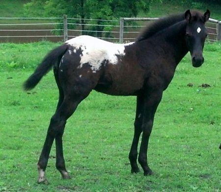 WAPZ a LOKI, Appaloosa Colt in Wisconsin | Appaloosa Horses for Sale