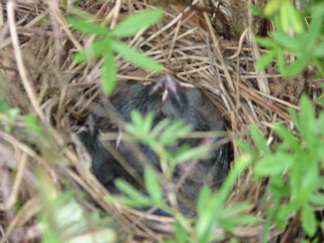 An occupied nest that I found while trimming a shrub.  Needless to say, I stopped the trimming until they fledged.