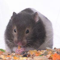 La Madriguera Información Roedores HAMSTERS. Cuidados básicos - Adopción de conejos, roedores y otros animales.