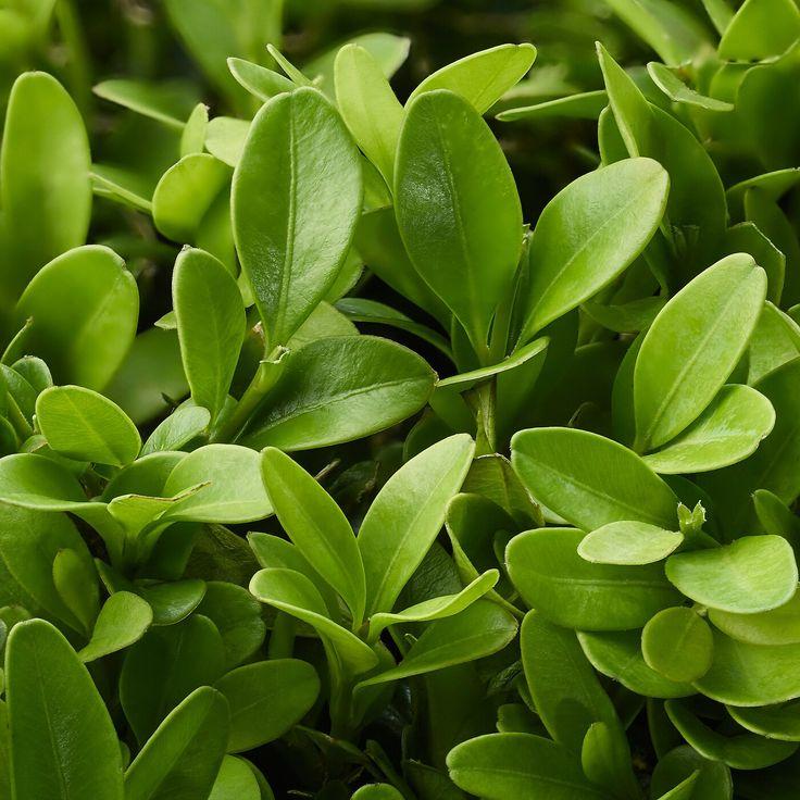 Ikea buxus sempervirens pflanze buchsbaum kugel