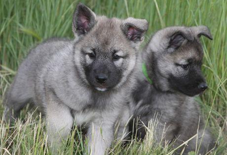 28 best images about AKC Hound Group on Pinterest   Coats, English ... Otterhound Exercise