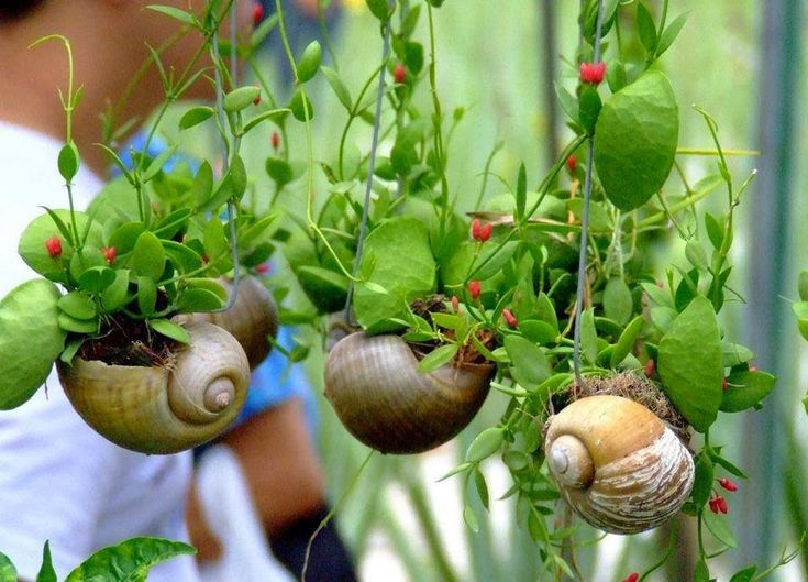 concha caracol planta