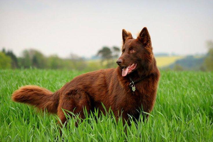 A solid liver long coat German Shepherd.