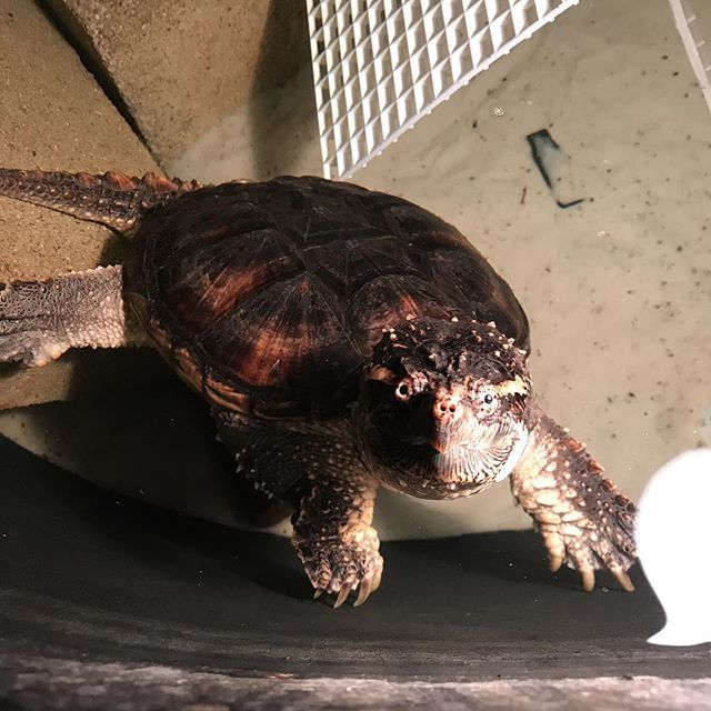 Snapping Turtle Care