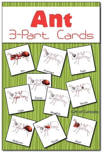Ant 3-part cards featuring 10 cards related to ant anatomy: ant, abdomen, antennae, eyes, gaster, head, legs, mandibles, petiole, and thorax. #ants #insects #montessori    Gift of Curiosity