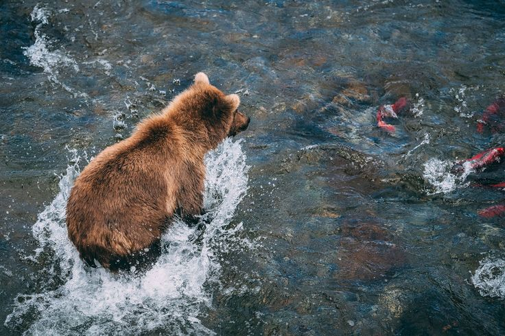 Grizzly Bear fishing for Salmon - Brooks Falls, Alaska. Photo by Kirstin Scholtz