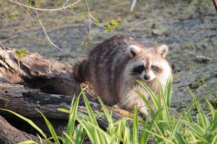 Raccoon at Canatara Park