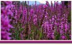 Zioła i rośliny lecznicze - encyklopedia ziół | Herbarium