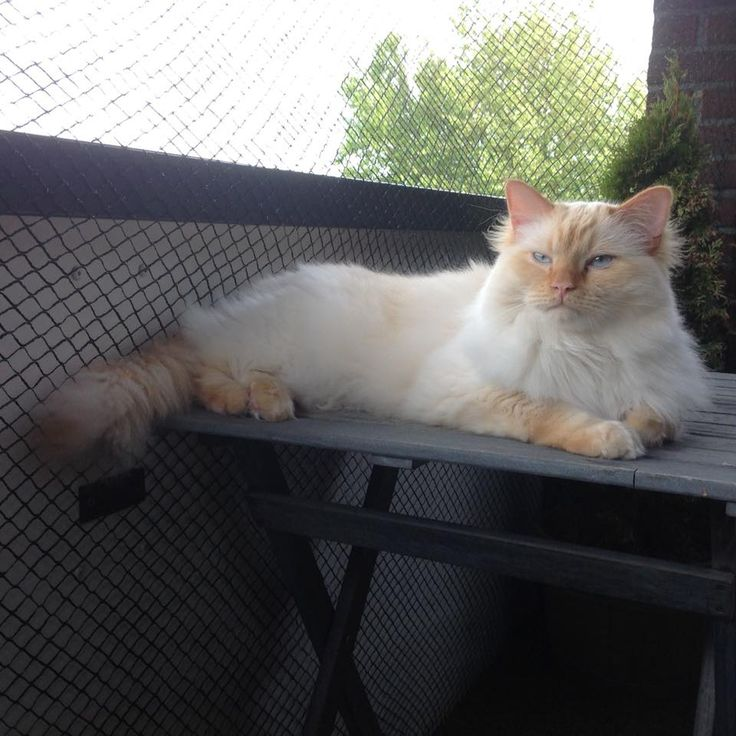Kattenras: Ragdoll