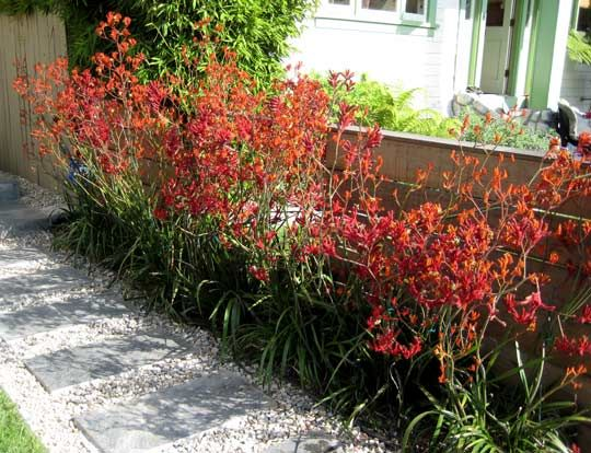plant suggestions: Kangaroo Paw (not dwarf), full sun, drought tolerant, long bloom season, many hot colors