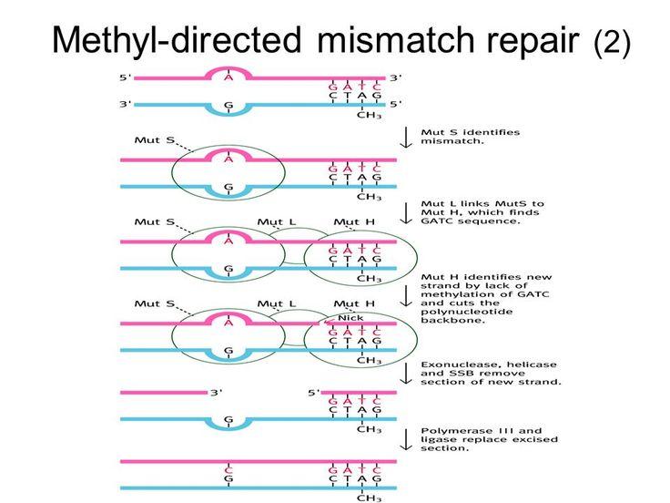 image result for dna methylation mismatch repair