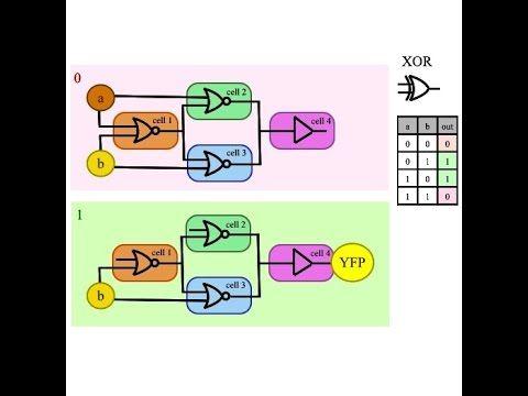How do I build a XOR gate in a biological arithmetic logic unit?