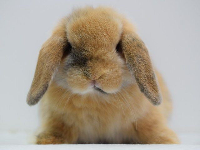 子うさぎホーランドロップ兄弟 Rabbits ラビッツ うさぎブリーダー専門店 大阪 ホーランドロップ 子うさぎ うさぎ