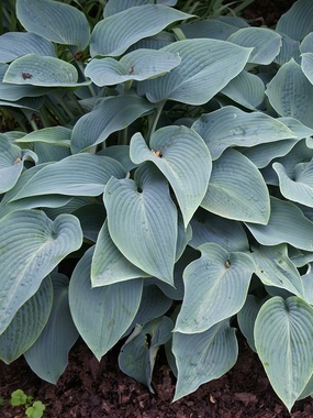Hosta Halcyon     Blue leaves and very sun tolerant