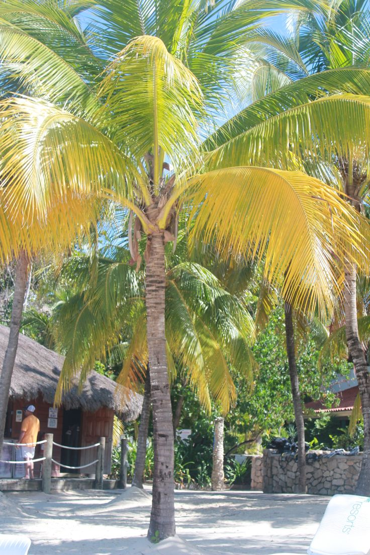 Standing Tall To Protect You From The Sun Coconut Tree