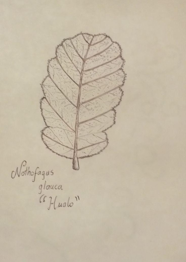 Nothofagus glauca