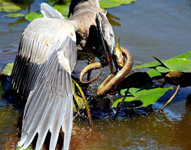 17. Цапля пытается съесть змею, которая ест рыбу