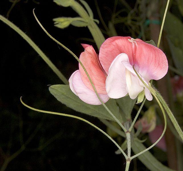 kokulu bezelye çiçeği lathyrus odoratus ile ilgili görsel sonucu