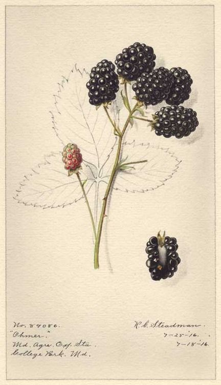 USDA Pomological Watercolor Collection Ohmer Blackberry (1816) by Royal G. Steadman.
