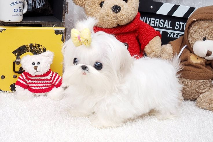 Chloe is the best Maltese we have ever seen. Perfect square body, perfect large eyes, perfect short nose, perfect round head. Yup she is one in a million - with a price to match!  #maltese #poshpocketpups #teacuppup #luxury   http://www.poshpocketpups.com/