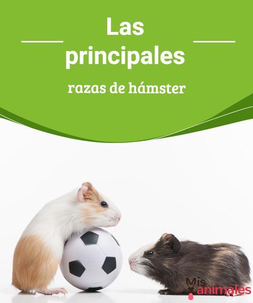 Las principales razas de hámster -Mejor con Mascotas  Los hámsteres son mascotas muy populares. Aquí presentamos las principales razas de hámster que se pueden encontrar en tienda.